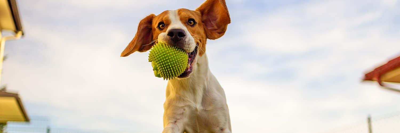 Come insegnare al proprio cane a riportare la palla in 6 semplici passi