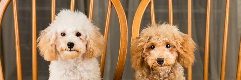 Cani da appartamento: le migliori razze di cani nani