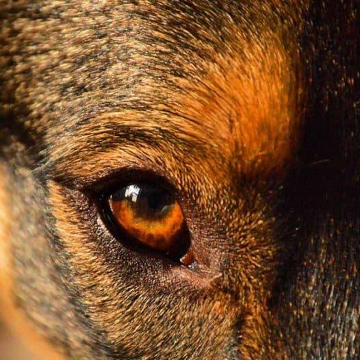 pulire occhi cane